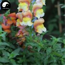 Buy Snapdragon Flower Seeds 200pcs Plant Flower Dragon's Month Antirrhinum Majus