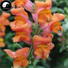 Buy Snapdragon Flower Seeds 400pcs Plant Flower Dragon's Month Antirrhinum Majus