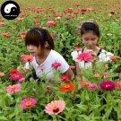 Buy Zinnia Elegans Flower Seeds 240pcs Plant Flower Zinnia Elegans Garden