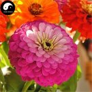 Buy Zinnia Elegans Flower Seeds 60pcs Plant Flower Zinnia Elegans Garden