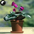 Buy Cyclamen Persicum Flower Seeds 6pcs Plant Rabbit Ears Flower Cyclamen