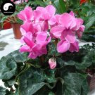 Buy Cyclamen Persicum Flower Seeds 12pcs Plant Rabbit Ears Flower Cyclamen