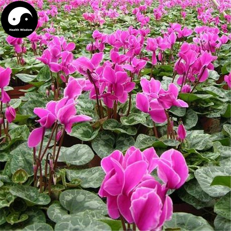 Buy Cyclamen Persicum Flower Seeds 24pcs Plant Rabbit Ears Flower Cyclamen