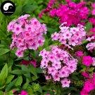 Buy Phlox Flower Seeds 90pcs Plant Phlox Flower Phlox Drummondii