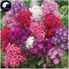 Buy Phlox Flower Seeds 360pcs Plant Phlox Flower Phlox Drummondii