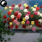 Buy Perpetual Carnation Flower Seeds 180pcs Plant Dianthus Caryophyllus Flower