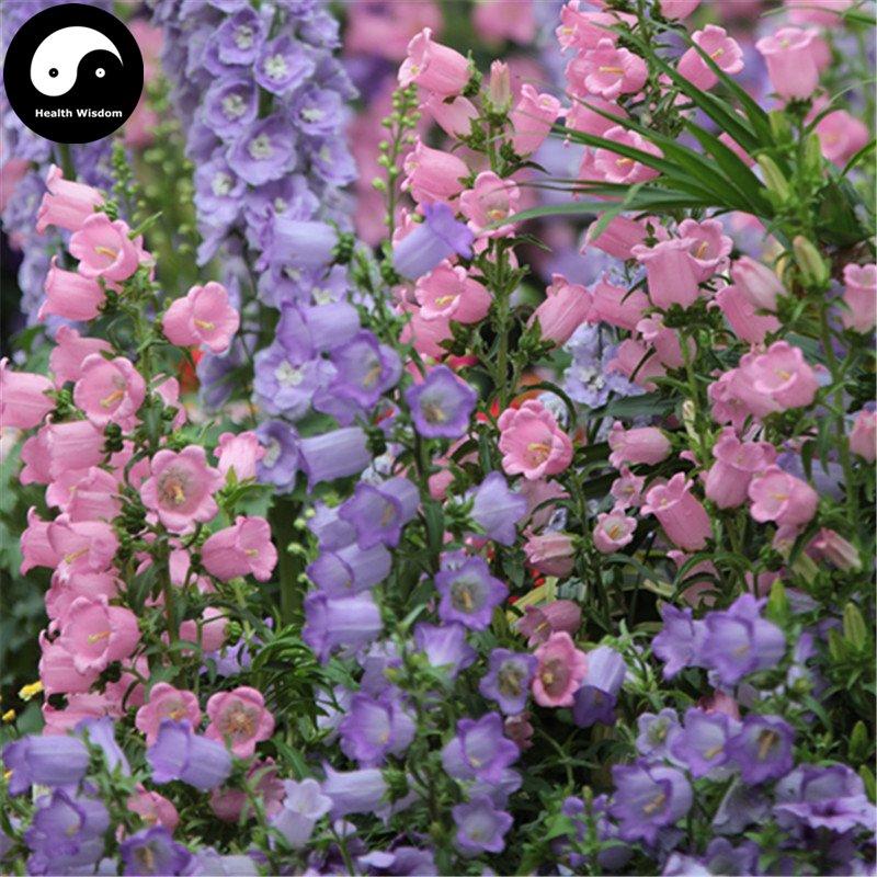Buy Spotted Bellflower Flower Seeds 200pcs Plant Campanula Punctata Flower