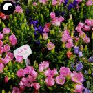 Buy Spotted Bellflower Flower Seeds 400pcs Plant Campanula Punctata Flower