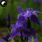 Buy Blue Butterfly Flower Seeds 240pcs Plant Iris Tectorum Flower Garden