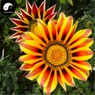 Buy Medal Chrysanthemum Flower Seeds 120pcs Plant Gazania Rigens Flower Garden