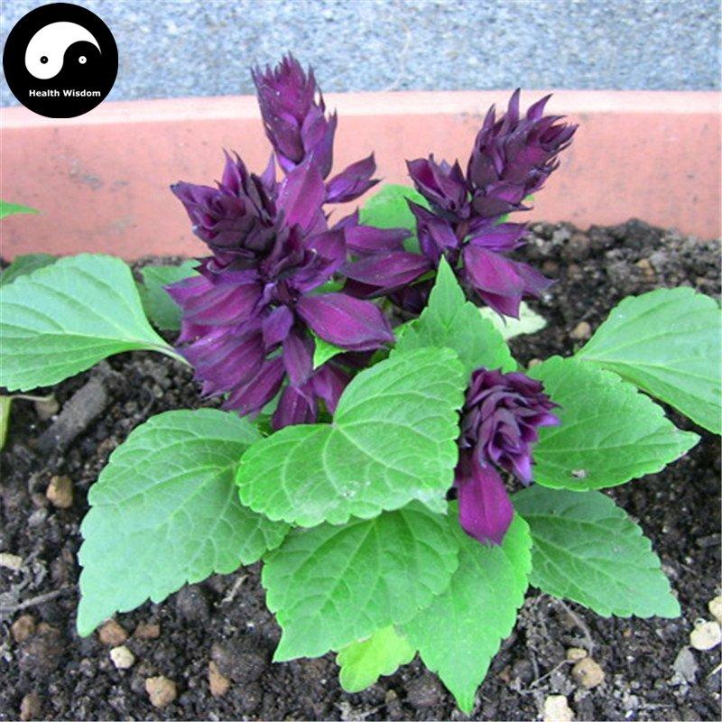 Buy Purple Salvia Splendens Flower Seeds 80pcs Plant Salvia Splendens Flower