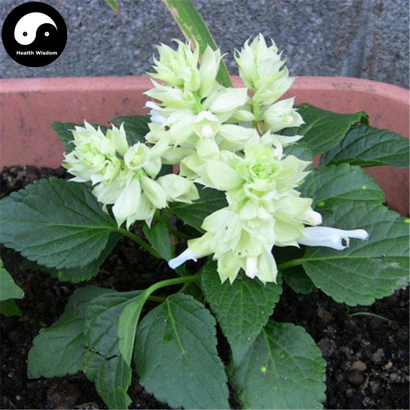 Buy White Salvia Splendens Flower Seeds 320pcs Plant Salvia Splendens Flower