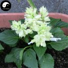 Buy White Salvia Splendens Flower Seeds 320pcs Plant Salvia Splendens Flower