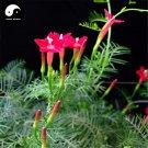 Buy Quamoclit Pennata Flower Seeds 30pcs Plant Vine Flower Quamoclit Pennata