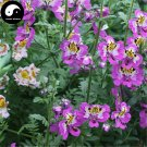 Buy Schizanthus Pinnatus Flower Seeds 400pcs Plant Flower Schizanthus Pinnatus