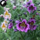 Buy Schizanthus Pinnatus Flower Seeds 200pcs Plant Flower Schizanthus Pinnatus
