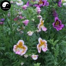 Buy Schizanthus Pinnatus Flower Seeds 100pcs Plant Flower Schizanthus Pinnatus