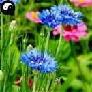 Buy Centaurea Cyanus Flower Seeds 200pcs Plant Flower Cornflower Garden
