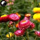 Buy Helichrysum Bracteatum Flower Seeds 200pcs Plant Helichrysum Bracteatum