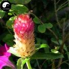 Buy Gomphrena Globosa Flower Seeds 180pcs Plant Gomphrena Globosa Flower Garden