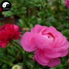 Buy Ranunculus Asiaticus Flower Seeds 80pcs Plant Flower Ranunculus Garden