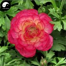 Buy Ranunculus Asiaticus Flower Seeds 160pcs Plant Flower Ranunculus Garden