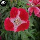 Buy Godetia Amoena Flower Seeds 100pcs Plant Flower Godetia Amoena Garden