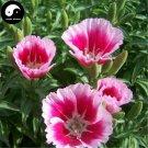 Buy Godetia Amoena Flower Seeds 200pcs Plant Flower Godetia Amoena Garden