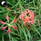 Buy Red Spider Lily Flower Seeds 60pcs Plant Flower Lycoris Radiata Garden
