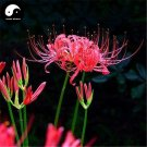Buy Red Spider Lily Flower Seeds 240pcs Plant Flower Lycoris Radiata Garden