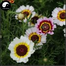 Buy Chrysanthemum Carinatum Flower Seeds 200pcs Plant Chrysanthemum Carinatum