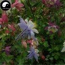 Buy Aquilegia Viridiflora Flower Seeds 200pcs Plant Aquilegia Viridiflora Flower