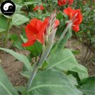Buy Canna Indica Flower Seeds 120pcs Plant Canna Lily Flower Garden