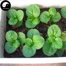 Buy Ceylon Spinach Vegetable Seeds 100pcs Plant Leaf Vegetables Basella Alba
