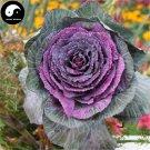Buy Purple Leaf Cabbage Vegetable Seeds 150pcs Plant Brassica Oleracea