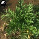 Buy Brassica Juncea Vegetable Seeds 300pcs Plant Leaf Brassica Juncea