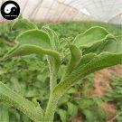 Buy Iceplant Vegetable Seeds 50pcs Plant Ice Vegetable Mesembryanthemum Crystallinum