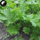 Buy Chuan Qi Mustard Vegetable Seeds 200pcs Plant Vegetable Brassica Juncea