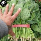 Buy Spinacia Oleracea Vegetable Seeds 200pcs Plant Big Leaf Vegetable Spinacia