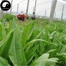 Buy Lettuce Vegetables Seeds 200pcs Plant Green Leaf Salad Vegetable Lactuca Sativa
