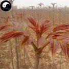 Buy Toona Sinensis Vegetables Seeds 120pcs Plant Tree Buds Vegetable