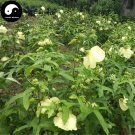 Buy Hibiseu Manihot Vegetables Seeds 240pcs Plant Hibiscus Tree Flower Vegetable Cai Fu Rong