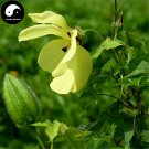 Buy Hibiseu Manihot Vegetables Seeds 60pcs Plant Hibiscus Tree Flower Vegetable Cai Fu Rong