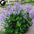 Buy Orychophragmus Violaceus Vegetables Seeds 600pcs Plant Wild Vegetable Zhu Ge Cai