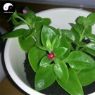 Buy Coral Dealbatus Vegetables Seeds 300pcs Plant Wild Vegetable Calcium Herb Andrographis