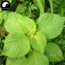 Buy Perilla Herb Vegetables Seeds 300pcs Plant Wild Vegetable Green Leaf Basil