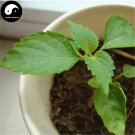 Buy Perilla Herb Vegetables Seeds 150pcs Plant Wild Vegetable Green Leaf Basil