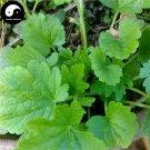 Buy Leonurus Artemisia Herb Vegetables Seeds 200pcs Plant Wild Vegetable Motherwort Yi Mu Cao