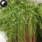 Buy Purple Cilantro Seeds 400pcs Plant Spices Vegetables Parsley Coriandrum Sativum