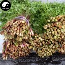 Buy Purple Cilantro Seeds 200pcs Plant Spices Vegetables Parsley Coriandrum Sativum